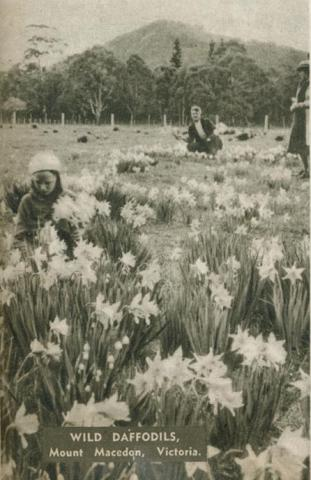 Wild daffodils, Mount Macedon, 1954