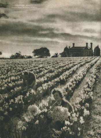 Perfume beauty, jonquil farm, Burwood, 1954