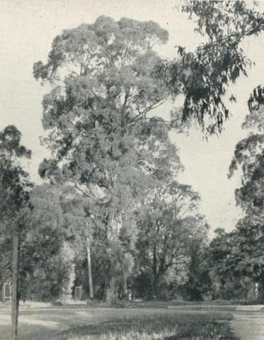 Preserved Gum Trees line the street, Blackburn, 1956