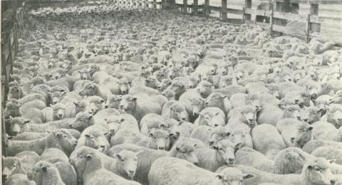 Echuca Sale Yards, Echuca, 1950