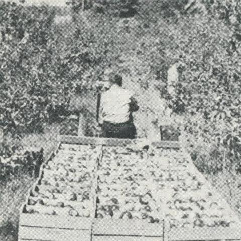 Apple Orchards, Bacchus Marsh, 1968