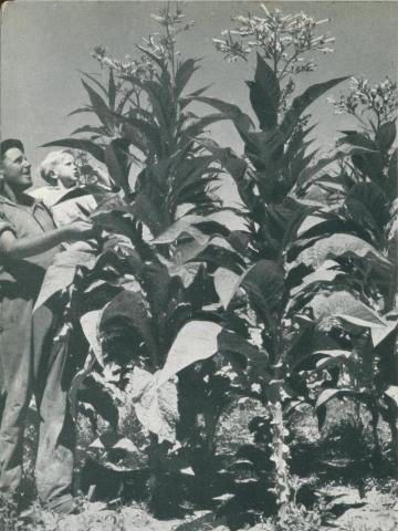 Tobacco growing, Myrtleford, c1952