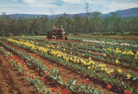 Tulip Farm, Monbulk, 1958