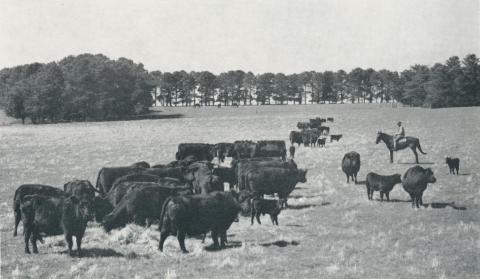 Stud Aberdeen Angus cows and calves, Caramut, 1958