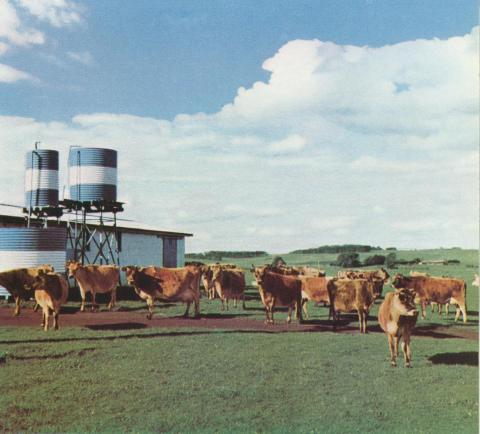 Stud Jersey cows and milking shed, Grassmere, 1958