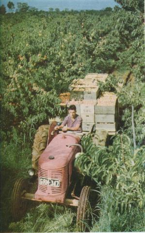Harvesting peaches, Goulburn Valley, 1958