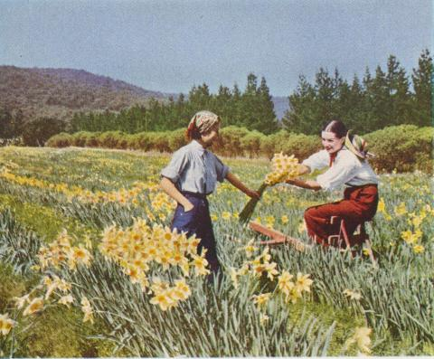 Daffodil time, Boronia, 1955