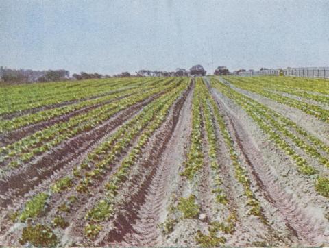 Lettuce cultivation, Braeside, 1955