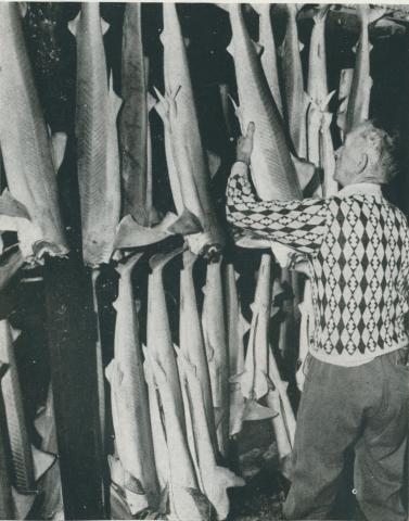 Gummy shark in the freezing  chamber, Port Albert, 1955