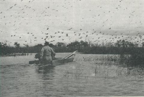 Ibis at Reedy Lake, Kerang, 1965