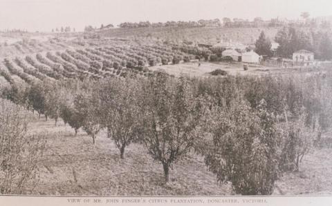 Mr Finger's citrus plantation, Doncaster, 1912
