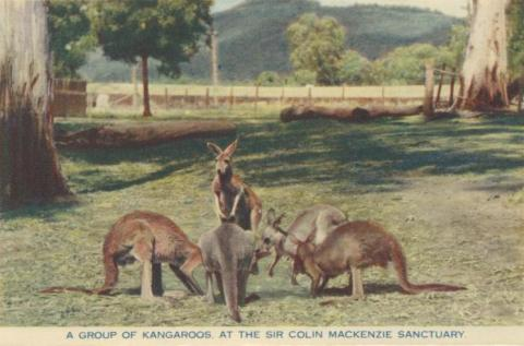 A group of kangaroos at the Sir Colin Mackenzie Sanctuary, Healesville