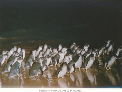 Penguin Parade, Phillip Island