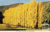 The famous poplars at Wandiligong