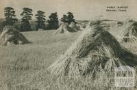 Wheat harvest, Doncaster, 1954
