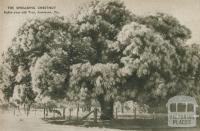 Eighty-year-old tree, Jamieson, 1954