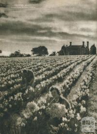 Perfume beauty, jonquil farm, Burwood, 1954
