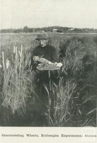 Crossbreeding wheat, Rutherglen Experimental Station, 1918