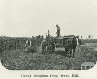 Heavy sorghum crop, Swan Hill, 1918