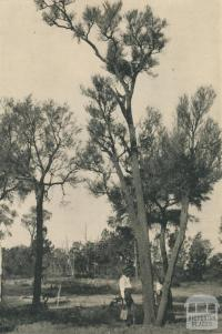 In the Victorian Mallee, 1943
