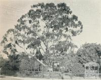 Largest Tree in the District, Blackburn, 1956