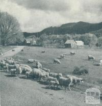 Grazing fields, Myrtleford, 1951