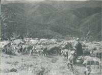 Hereford cattle being mustered on the Dargo High Plains, c1952