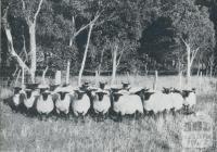 Stud Suffolk Sheep, Orford, 1958