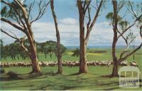 Sheep at pasture, Meredith, 1958