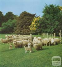 Stud ewes and lambs, Noorat, 1958