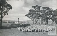 Sheep awaiting shearing, Skipton, 1958
