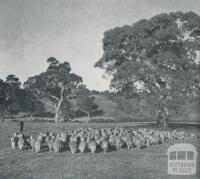 Stud Corriedale ewes and lambs, Harrow, 1958