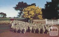 Merino flock, Rokewood, 1958