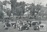 Stud Hereford cows and calves on the Metropolitan Farm, Werribee, 1958