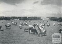A Grade herd at pasture, Larpent, 1958