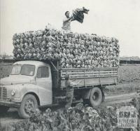 Delivery of Cauliflowers, Werribee, 1958