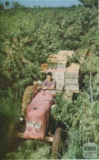 Harvesting peaches, Goulburn Valley, 1958