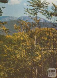 Mount Buffalo framed in ferns near Porepunkah, 1958