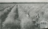 Asparagus crop, Dalmore, 1955