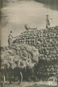 Winter fodder reserves of hay, Langford, Rockbank, 1950