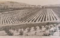 Pakenham, Toomuc Valley orchard, 1911