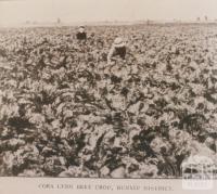 Cora Lynn beet crop, 1912