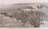 Mr Finger's citrus plantation, Doncaster, 1912