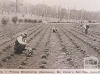 Picking strawberries (Sunbeams), Red Hill, 1914