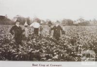 Beet crop at Cowwarr, 1920