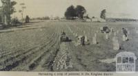 Harvesting potatoes, Kinglake district, 1951
