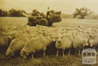 Hand feeding sheep, Little River, 1960