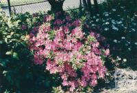 Azaleas, Jasper Road, Bentleigh, 1980