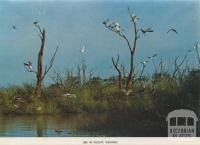 Ibis in flight, Kerang, 1975