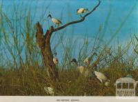Ibis nesting, Kerang, 1975